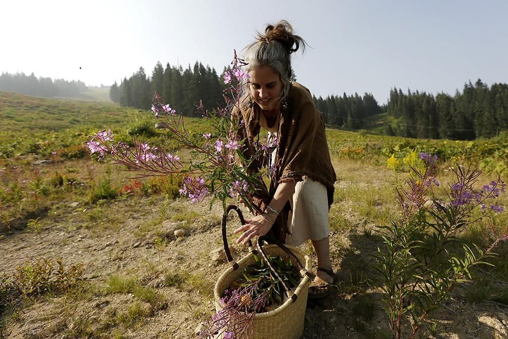 Wandering Lemurian Herbs owner Aubrey Mundell harvests fireweed at Mount Spokane.